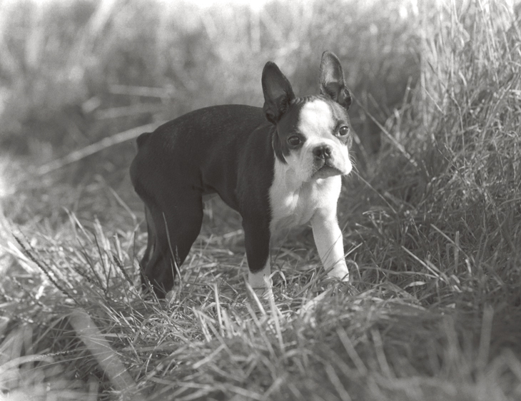 BostonTerrierLR