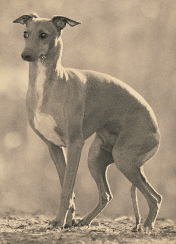 ItalianGreyhoundLR