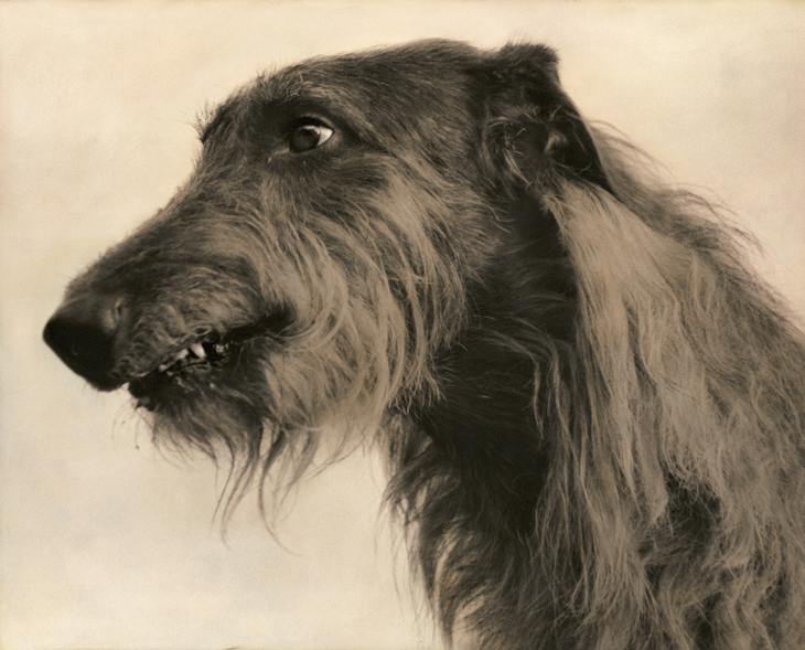 ScottishDeerhoundLR